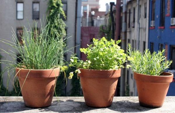 como plantar erva cidreira