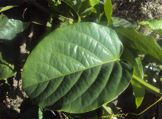 folha de maracujá calmante