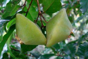 o que é a fruta cambuci