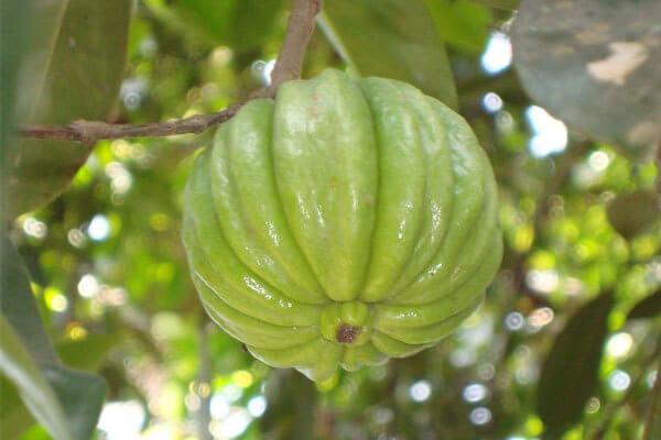 Garcina camboja